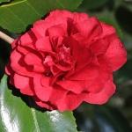 Camellia cv. unknown (3A-013)