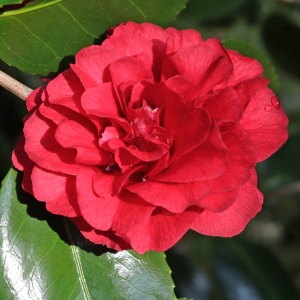 Camellia cv. unknown (3A-013)