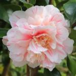 Camellia japonica 'William Honey'