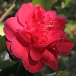 Camellia japonica 'Cathy Becher'