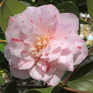 Camellia japonica 'Carters Sunburst'