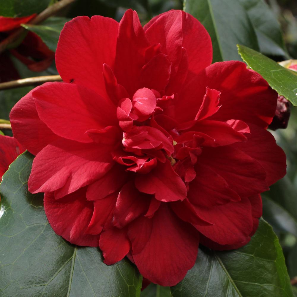 Camellia japonica 'Fire Dance'