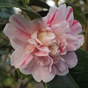 Camellia japonica 'Manana'