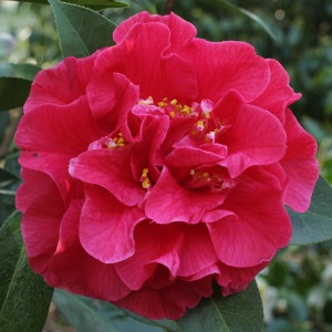 Camellia 'Miss Tulare'