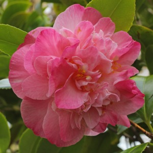 Camellia japonica 'Mrs Lyman Clark'