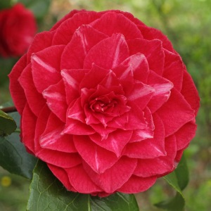 Camellia japonica 'Princess Baciocchi'