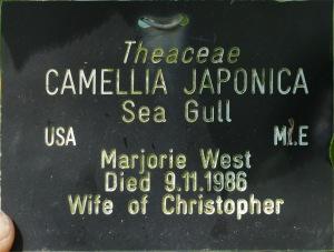 Camellia japonica 'Sea Gull'