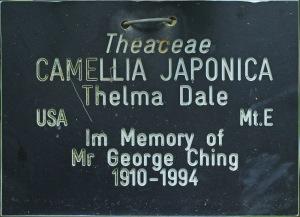 Camellia japonica 'Thelma Dale'