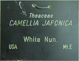 Camellia japonica 'White Nun'