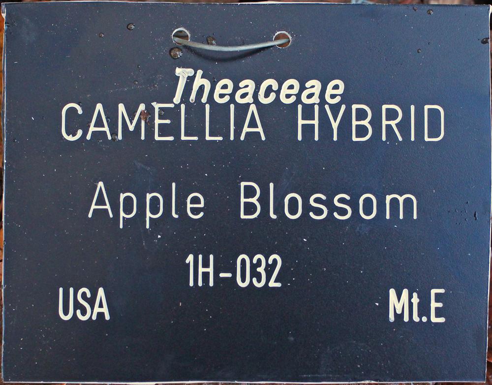 Camellia hybrid 'Apple Blossom'