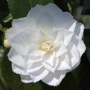 Camellia japonica 'Nuccios Gem'