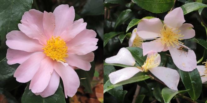 Winters-Rose-2