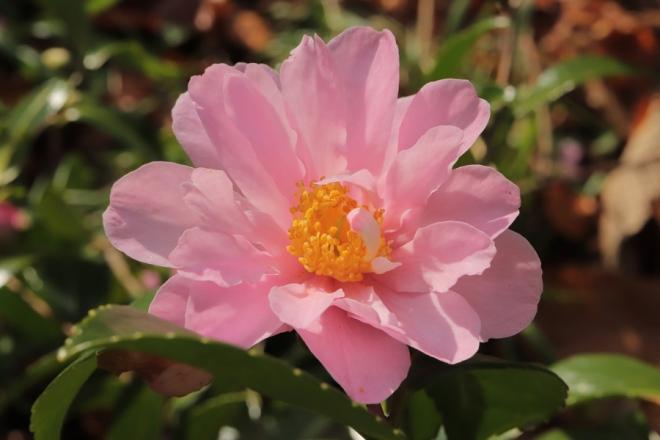 Winters-Rose-3