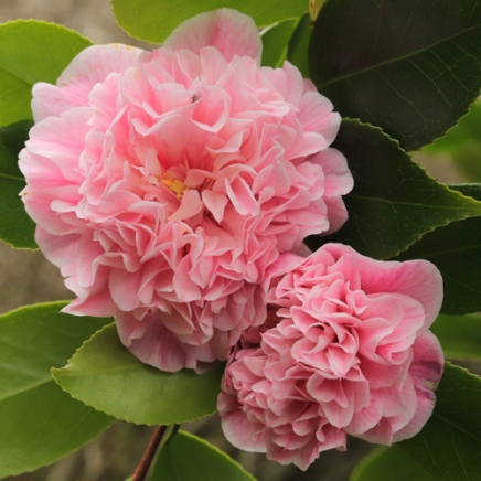 C. 'Elizabeth Rose Open'