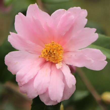 C. 'Winter's Rose'