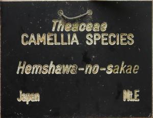 Camellia hiemalis 'Showa-no-sakae'