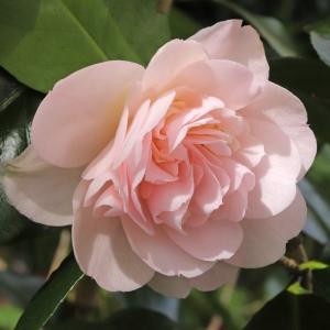 Camellia japonica 'Gladys Wannamaker'