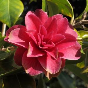 Camellia japonica 'Auguste Delfosse'