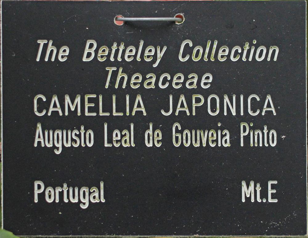 Camellia japonica 'Augusto Pinto'