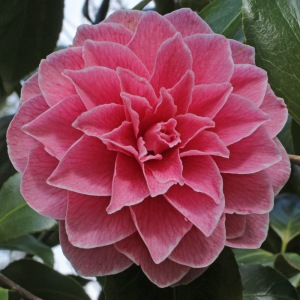 Camellia japonica 'Augusto Pinto'
