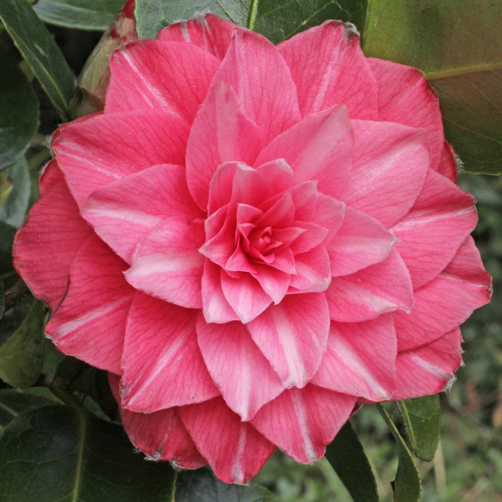 Camellia japonica 'Fatima'