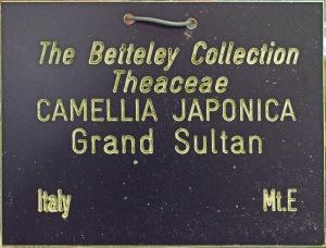 Camellia japonica 'Grand Sultan'
