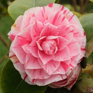 Camellia japonica 'Maculata Superba'