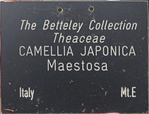Camellia japonica 'Maestosa'
