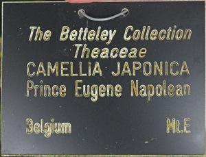 Camellia japonica 'Prince Eugene Napoleon'