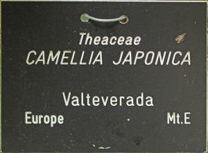 Camellia japonica 'Valteverada'