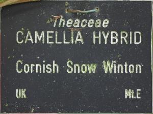 Camellia hybrid 'Cornish Snow'