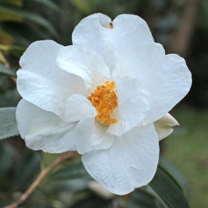 Camellia hybrid 'Cornish Snow' (5D-017)