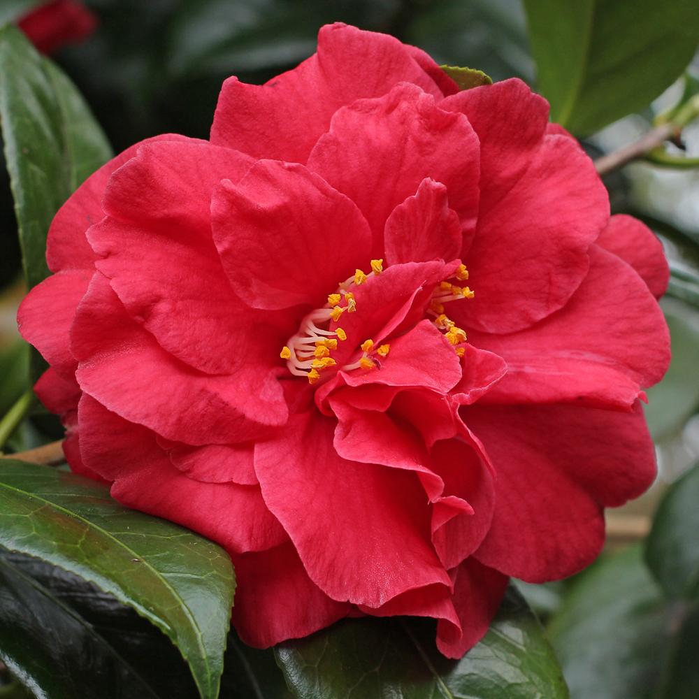 Camellia japonica 'Adolphe Audusson Special'