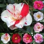 Camellia japonica 'Dainty' (Waterhouse)