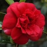 Camellia japonica 'Dark of the Moon'