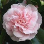 Camellia japonica 'Debutante'
