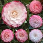 Camellia japonica 'Desire'