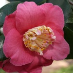 Camellia japonica 'Dewatairin'