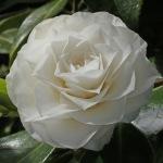 Camellia japonica 'Dian Hartman'
