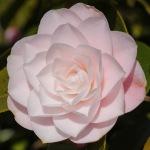 Camellia japonica 'Diana's Charm'