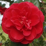 Camellia japonica 'Dixie Knight'
