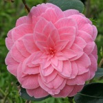 Camellia japonica 'Dorothy Johnson'