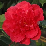 Camellia hybrid 'Dr Clifford Parks'