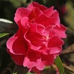 Camellia hybrid 'Dream Castle'