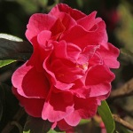 Camellia hybrid 'Dream Castle'