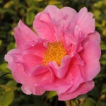 Camellia hybrid 'Dream Girl'