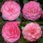 Camellia x williamsii 'Dreamboat'