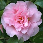 Camellia x williamsii 'Dresden China'