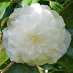 Camellia japonica 'Duchess de Berry'