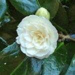 Camellia japonica 'Duchess de Montpensier'